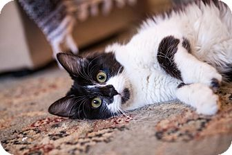 Domestic Mediumhair Cat for adoption in Los Angeles, California - Annette