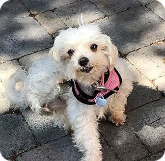 Maltese Mix Dog for adoption in San Diego, California - Jinxie