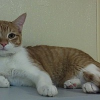 Domestic Shorthair Cat for adoption in Dallas, Texas - JACK