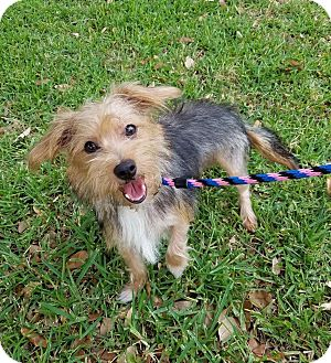 Terrier (Unknown Type, Small)/Yorkie, Yorkshire Terrier Mix Dog for adoption in Plano, Texas - River