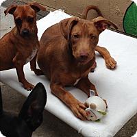 Adopt A Pet :: Riley - Brea, CA