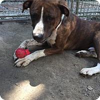 Adopt A Pet :: Astro - Danbury, CT