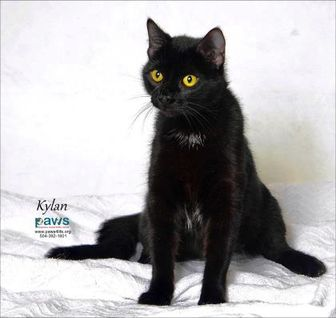 Domestic Shorthair/Domestic Shorthair Mix Cat for adoption in Belle Chasse, Louisiana - Kylan