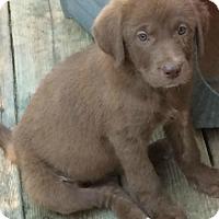 Adopt A Pet :: Aislinn - Boston, MA