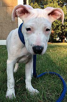Boxer/Bulldog Mix Puppy for adoption in Brattleboro, Vermont - BABY ASPEN