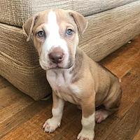 Adopt A Pet :: Chester - Durham, NC