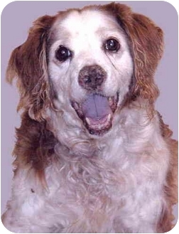 Brittany Dog for adoption in Grass Valley, California - Quinn *NEEDS YOU*