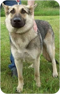 German Shepherd Dog Dog for adoption in North Judson, Indiana - Molly