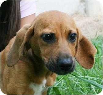Labrador Retriever/Hound (Unknown Type) Mix Puppy for adoption in Hagerstown, Maryland - Pooky