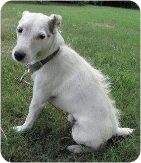 Jack Russell Terrier Dog for adoption in Arkansas City, Texas - Bozo in Fayetteville