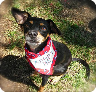 Manchester Terrier Mix Dog for adoption in El Cajon, California - Jenny