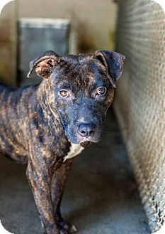 Pit Bull Terrier Mix Dog for adoption in Henderson, North Carolina - Popeye