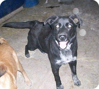 Labrador Retriever/Australian Shepherd Mix Dog for adoption in Liberty Center, Ohio - Gunner