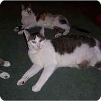Domestic Shorthair Cat for adoption in North Plainfield, New Jersey - Possum