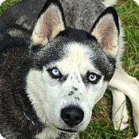 Adopt A Pet :: Balto - matthews, NC