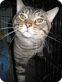 Domestic Shorthair Cat for adoption in Florence, Indiana - Stripe