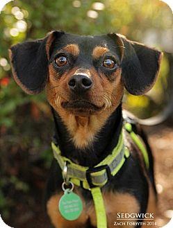 Dachshund Mix Puppy for adoption in Portland, Oregon - SEDGWICK
