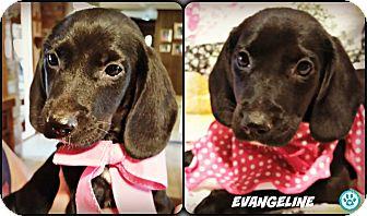Basset Hound/Beagle Mix Puppy for adoption in Kimberton, Pennsylvania - Evangeline