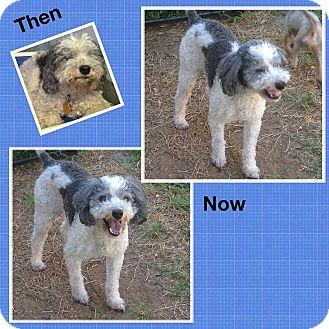 Poodle (Miniature) Mix Dog for adoption in San Antonio, Texas - Milo