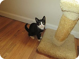 Domestic Shorthair Kitten for adoption in Arlington, Virginia - Bootsie