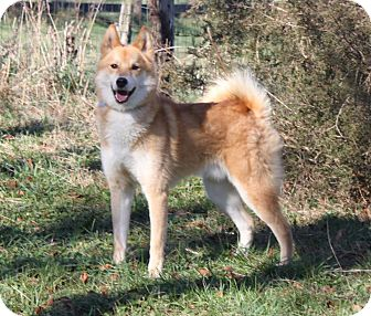 Eskimo Spitz/Husky Mix Dog for adoption in Staunton, Virginia - Lightning