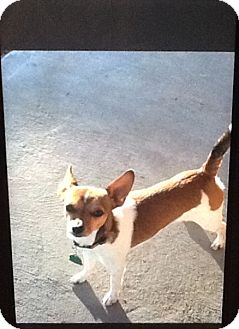 Terrier (Unknown Type, Small) Mix Dog for adoption in springtown, Texas - Jack