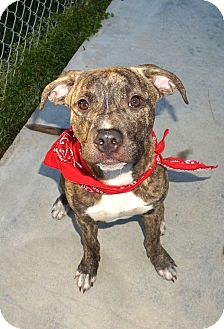 American Staffordshire Terrier Mix Puppy for adoption in Lexington, North Carolina - HARLEY