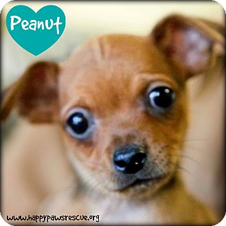 Chihuahua/Dachshund Mix Puppy for adoption in South Plainfield, New Jersey - Peanut