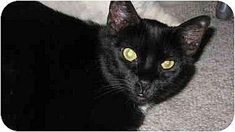 Domestic Shorthair Cat for adoption in Scottsdale, Arizona - Diamond