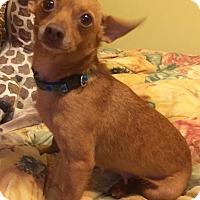 Adopt A Pet :: Harley Grace-7 lbs - Warwick, NY