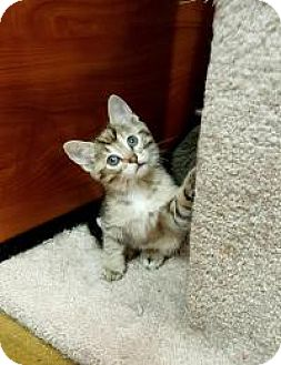 Domestic Shorthair Kitten for adoption in Smyrna, Georgia - Lacey