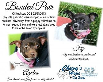 Chihuahua Dog for adoption in Boyd, Texas - Ivy