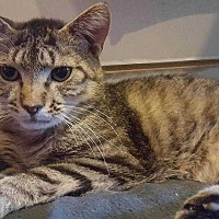Domestic Shorthair Cat for adoption in Harleysville, Pennsylvania - Tigger2