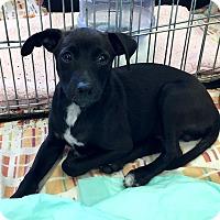 Adopt A Pet :: Gotham - Los Angeles, CA