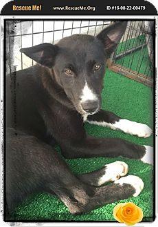 Husky/Labrador Retriever Mix Puppy for adoption in Los Angeles, California - Charlize