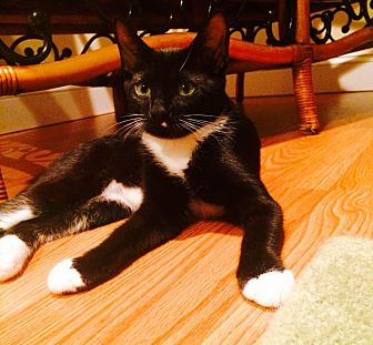 Domestic Shorthair Kitten for adoption in Marlton, New Jersey - Sunny