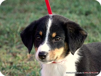 Border Collie/Beagle Mix Puppy for adoption in parissipany, New Jersey - ANNIE/ADOPTED