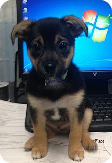 Chihuahua/Shih Tzu Mix Puppy for adoption in Carlisle, Pennsylvania - Hopper