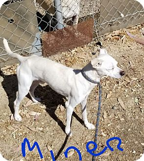 Terrier (Unknown Type, Small) Mix Dog for adoption in Gustine, California - MINER