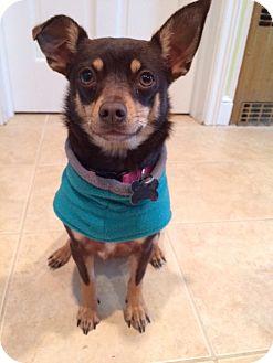 Miniature Pinscher Mix Dog for adoption in Bedminster, New Jersey - Millie - Meet me