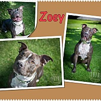 Pit Bull Terrier Mix Dog for adoption in Jerome, Idaho - Zoey