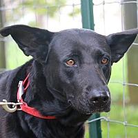 Adopt A Pet :: Shiba - Portland, ME