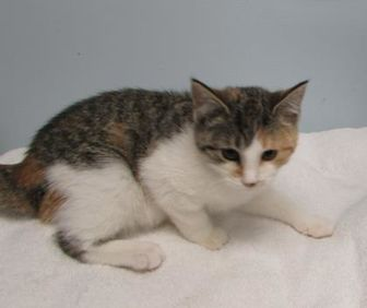 Domestic Shorthair/Domestic Shorthair Mix Cat for adoption in Ridgely, Maryland - Scion