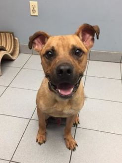 American Staffordshire Terrier Mix Dog for adoption in Buffalo, New York - Wally