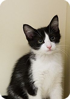 Domestic Shorthair Kitten for adoption in Elyria, Ohio - Dino