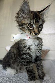 Domestic Mediumhair Kitten for adoption in Redding, California - Kraken
