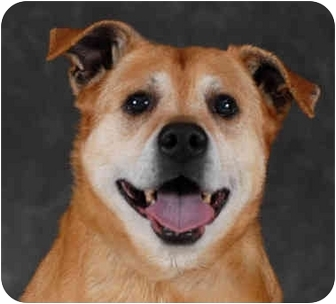 Shepherd (Unknown Type) Mix Dog for adoption in Chicago, Illinois - Taffie