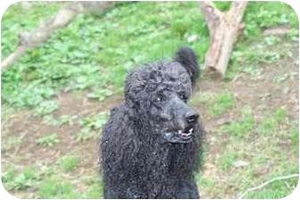 Poodle (Standard) Dog for adoption in Colebrook, New Hampshire - Spencer