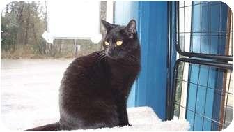 Domestic Shorthair Cat for adoption in Kingston, Washington - Salem