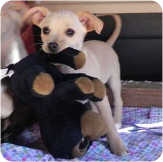 Chihuahua Mix Puppy for adoption in Hagerstown, Maryland - Lionel